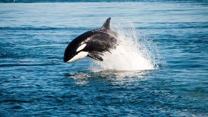 Bucket List #28: Whale watching photograph: An Orca jumping out of the water