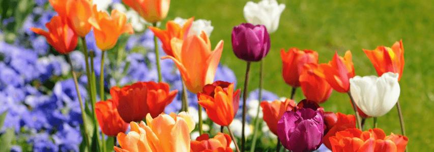 Spring Gardening, spring flowers, tulips